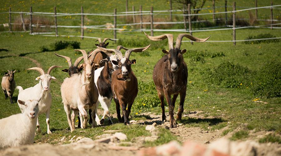 Les chèvres et les boucs