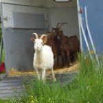 chèvres,la hardonnerie