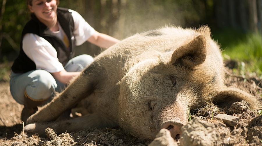 Rosette, cochon, La Hardonnerie, ferme, refuge, éducation