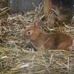 Naissance lapineaux la hardonnerie welfarm