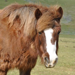Bijou le poney coquet