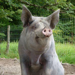 Rosette, mon copain de cochon
