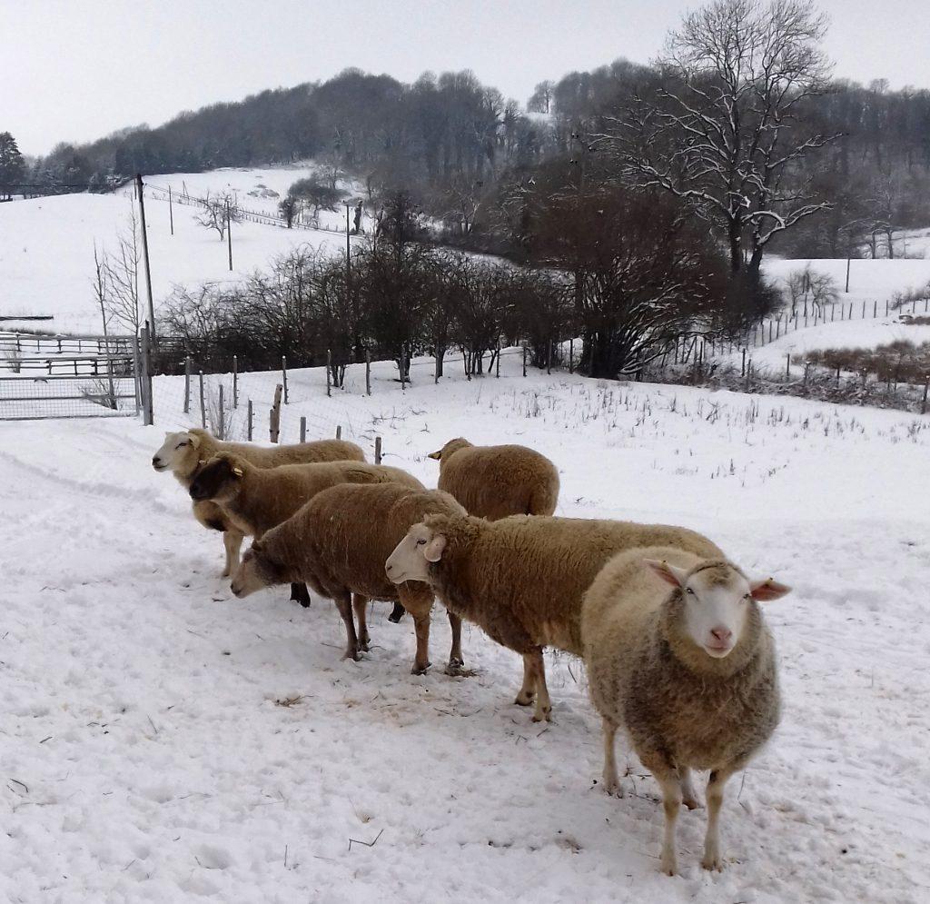 Les moutons sous la neige à La Hardonnerie