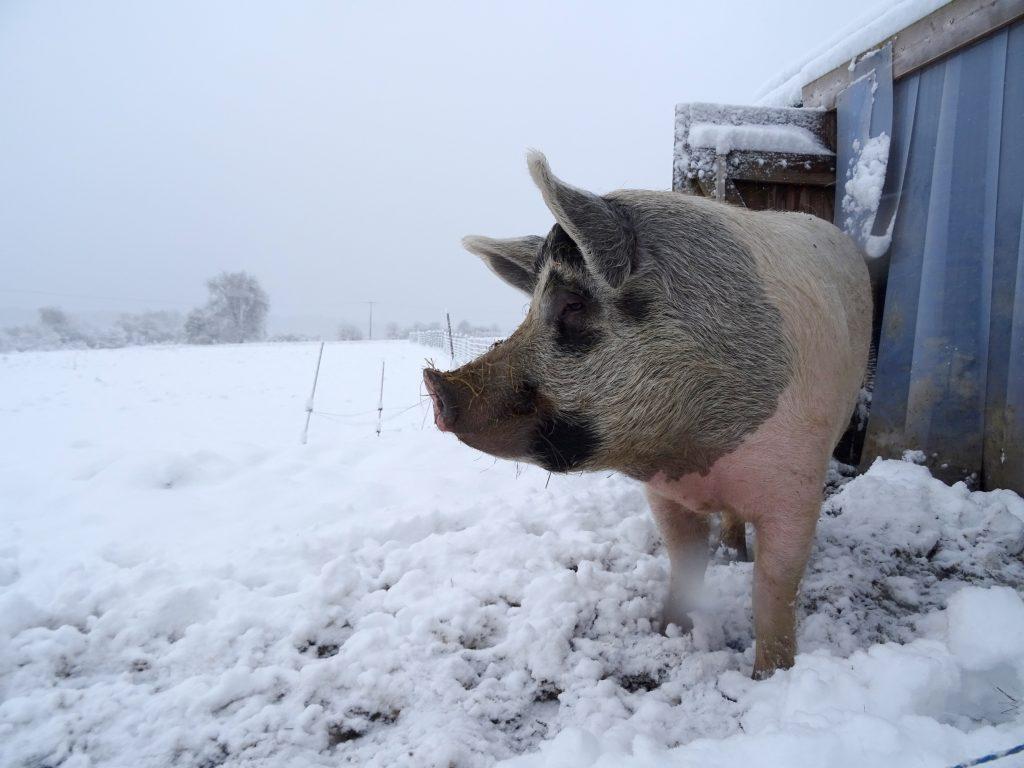 Un cochon sous la neige à La Hardonnerie