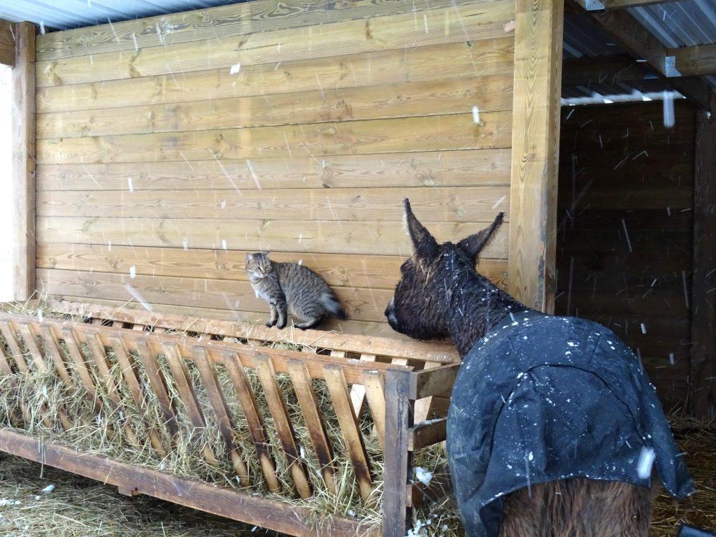 Shadow le chat et un âne sous la neige à La Hardonnerie