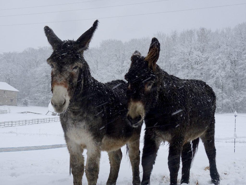 Les ânes sous la neige à La Hardonnerie