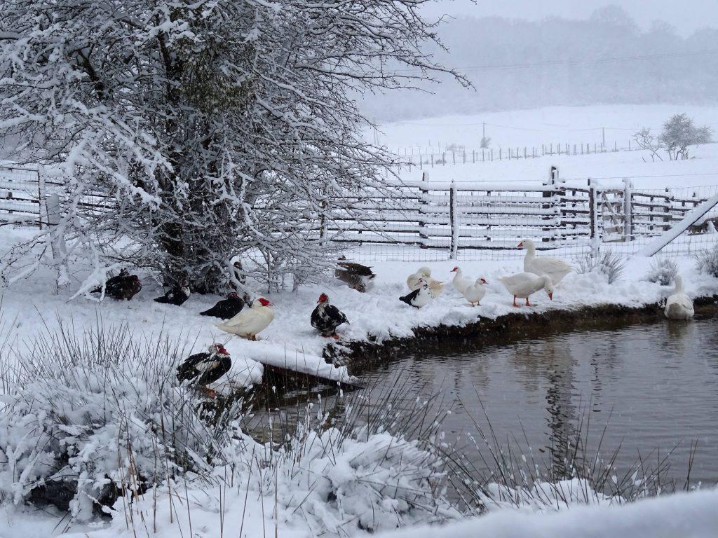 Poules, canards et oies sous la neige à La Hardonnerie