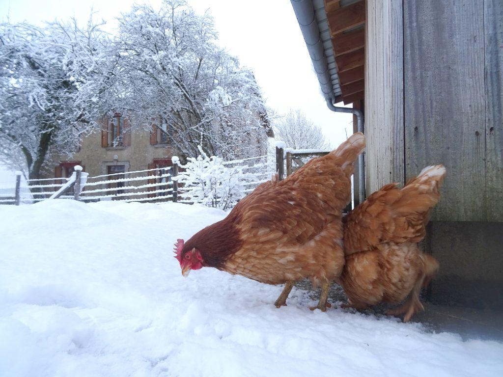 Poules sous la neige à La Hardonnerie
