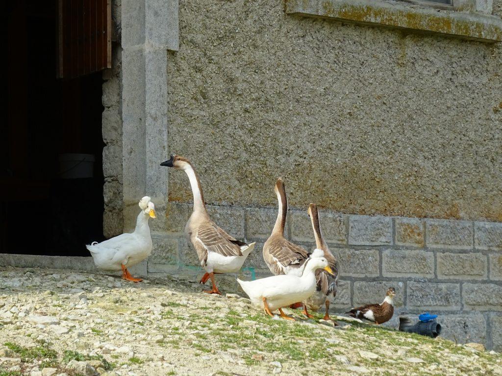 canards et oies