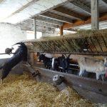 Nouvelles chèvres