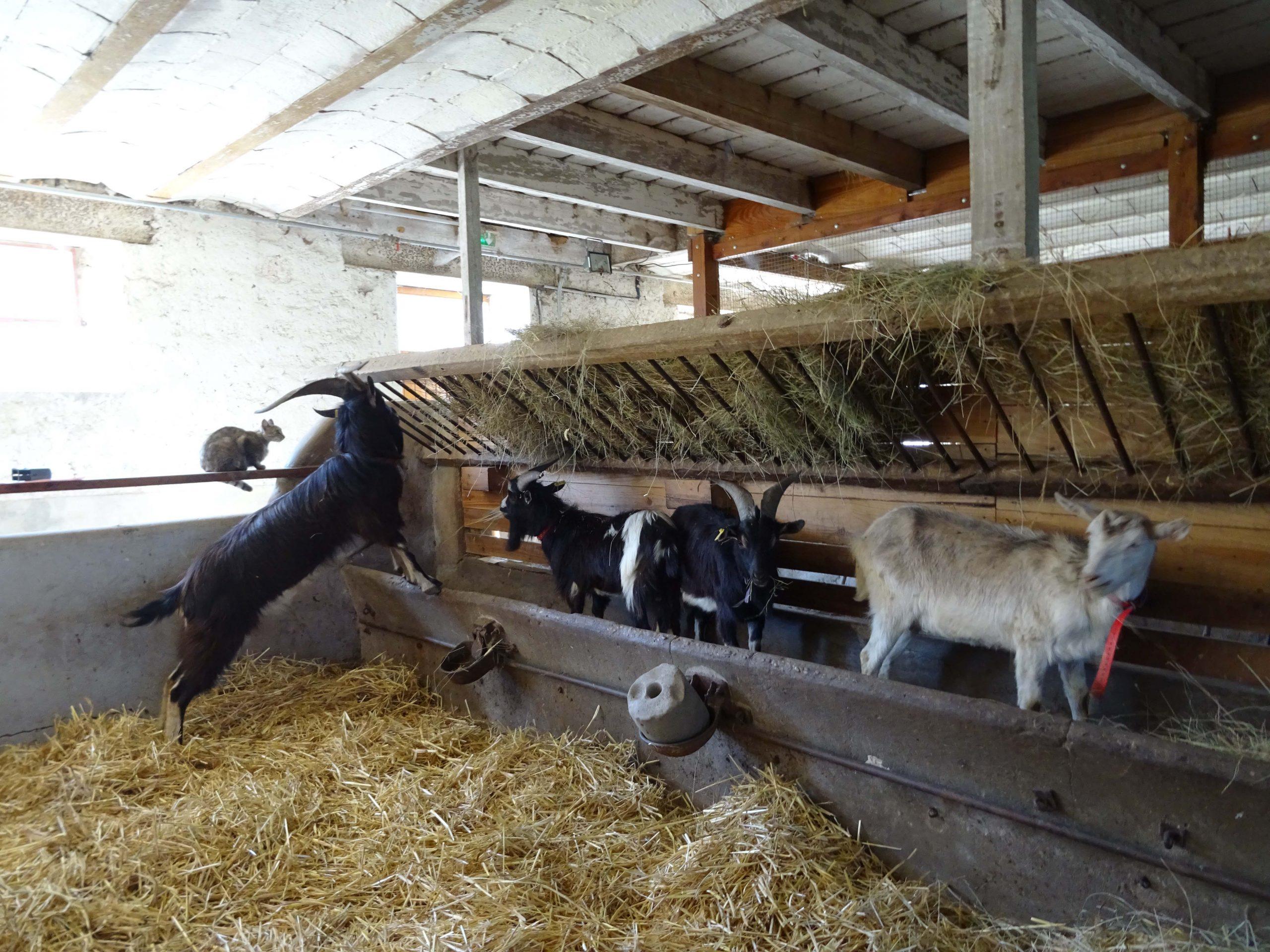À La Hardonnerie, la vie continue avec l'arrivée de quatre nouvelles chèvres