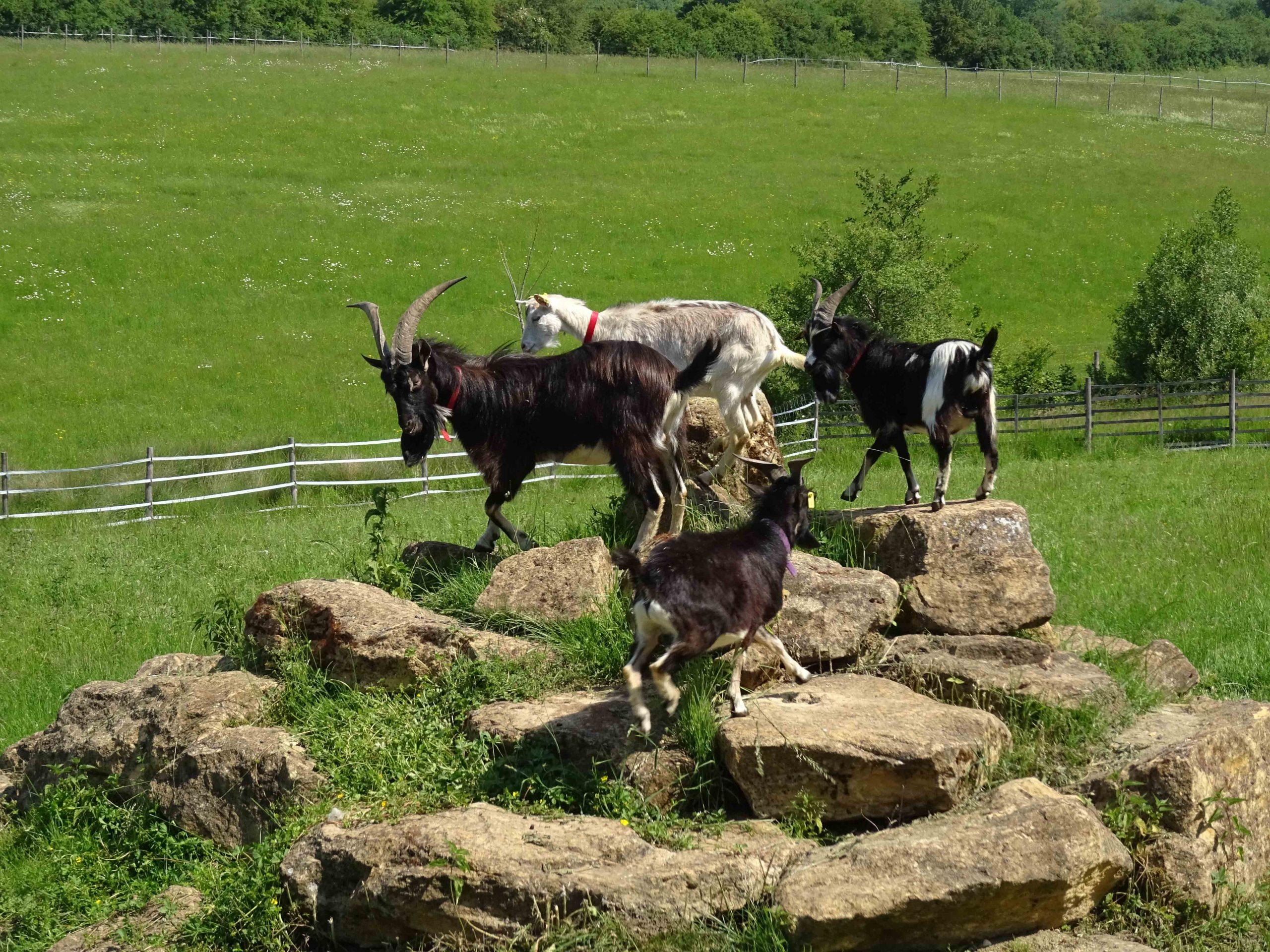 Nos nouvelles chèvres ont rejoint leurs congénères dans les pâturages